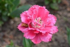 Krullende roze tulp Stock Foto