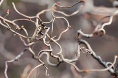 Krullende takken ongebruikelijk gevormde boom Het abstracte concept van de aard macromening, ondiep dieptegebied, zachte nadruk stock fotografie