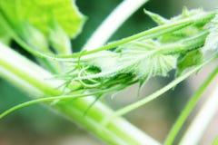 Krullning för melonvinranka av naturen Arkivbild