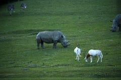 Krummsäbel gehörnter Oryx, der mit weißen Nashörnern u. Sträußen weiden lässt Lizenzfreies Stockfoto