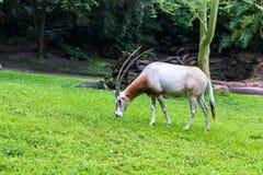 Krummsäbel Oryx Lizenzfreie Stockfotos
