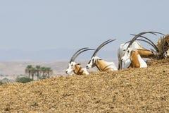 Krummsäbel Oryx dammah Stockfoto