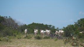 Krummsäbel Oryx-Herde Stockfotos