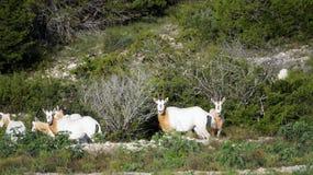 Krummsäbel Oryx-Herde Stockbilder