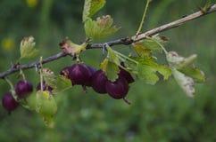 Krusbär eller agrus, filial med bär purpurfärgade Agrus, grupp av söta mogna bärkrusbär, agrus i trädgården Arkivfoton