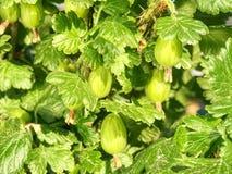Krusbär på den spetsiga busken i trädgården Sura krusbärbär royaltyfria bilder