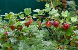 Krusbär på en filial i droppar efter regnet Mogna röda bärkrusbär på en filial royaltyfria bilder