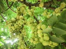 krusbär på trädet royaltyfri fotografi