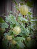 krusbärbär i trädgården royaltyfri fotografi