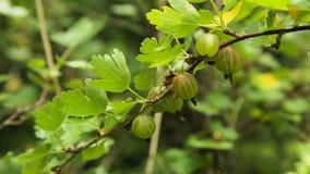 Krusbärfrukt på filialen i trädgården stock video