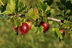 KrusbärRibesuva-crispa L , Europeiskt krusbär, frukt på busken royaltyfri fotografi