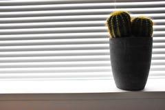 Krusgrå färgväxt inomhus Arkivfoto