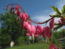 Krwawiącego serca roślina Fotografia Stock