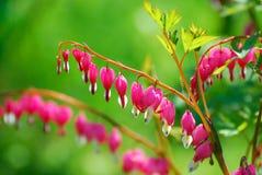 Krwawiący serce kwitnie (Dicentra spectabilis) Zdjęcia Stock
