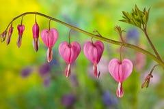 krwawiące kwiatów serca menchie Zdjęcie Royalty Free
