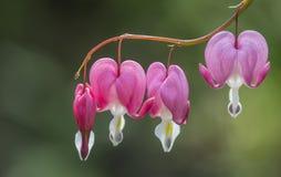 Krwawiącego serca kwiaty Obrazy Stock