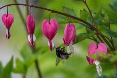 Krwawiący serce jest kwiatem Obraz Royalty Free