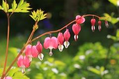 Krwawiący serce, odwiecznie ziele w ogródzie Obraz Stock