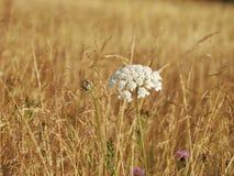 Krwawnik pospolity - Achillea millefolium - Royalty Free Stock Photography