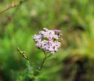 Krwawnika kwiat Zdjęcia Stock