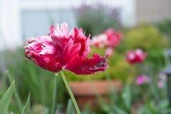 Krwionośny czerwony papuzi tulipan w miastowym dachu ogródzie zdjęcia stock