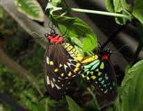 krycia motyla obrazy stock