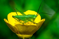 Krykiet na żółtym kwiacie Zdjęcia Stock