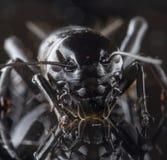 Krykieta Gryllidae lub zdjęcia stock