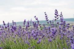 Krymscy lawenda kwiaty zdjęcie stock