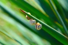 Krymscy ślimaczki Zdjęcie Stock