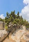 Krymska sosna lub sosna paliuszu lat, Pinus nigra subsp pallasiana dorośnięcie na skałach Fotografia Royalty Free