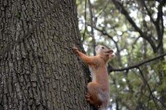 Krymska wiewiórka Zdjęcie Royalty Free