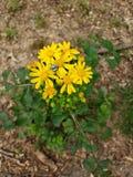 Kryp för natur för vårspindelblomma arkivfoto