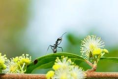 Kryp fel, röd myra på gula blommor Arkivbild