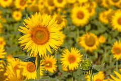 Kryp i fält av solrosen Royaltyfri Fotografi