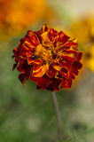 Kryp på blomma Royaltyfri Fotografi