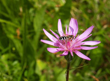 Kryp på den lila blomman Arkivbilder