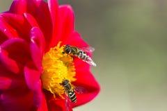 Kryp på en blomma Royaltyfri Bild