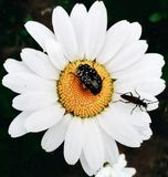 Kryp på en blomma Arkivfoto