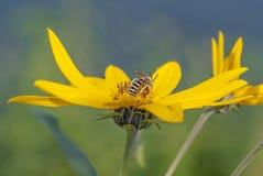 Kryp på en blomma Fotografering för Bildbyråer