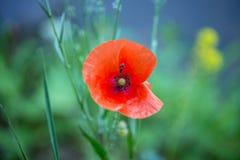 Kryp på en blommavallmo Royaltyfri Fotografi