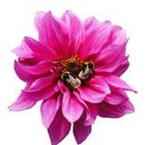 Kryp på en röd blomma Royaltyfria Foton