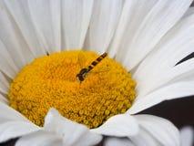 Kryp som samlar pollen från en blomma arkivbilder