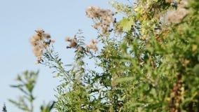 Krypa den fjäderlika pappusen för tistelCirsiumarvense och overblown blommor arkivfilmer