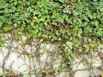 (krypa fikonträdet eller klättra fikonträdet) Royaltyfri Bild