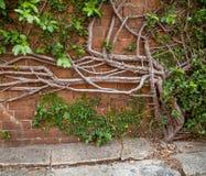 Krypa fikonträdet som växer ut ur betong och, up en tegelstenvägg Royaltyfri Bild