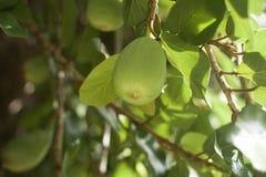 Krypa fikonträdet Arkivbilder