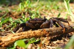 krypa jordning för krabba Arkivbild