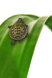 krypa leafsköldpadda Arkivfoto