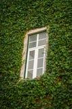 krypa murgrönan Fotografering för Bildbyråer